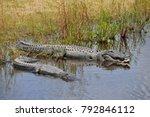American Alligators  Alligator...