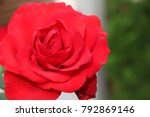 isolated big red rose in a... | Shutterstock . vector #792869146