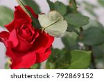 isolated big red rose in a... | Shutterstock . vector #792869152