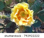 Isolated Yellow Prickly Pear...