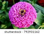Close Up Purple Zinnia Flower ...