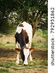 black and white  cows in a... | Shutterstock . vector #792951862
