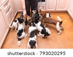 Stock photo group of dogs is hand fed many obedient jack russell terrier doggies indoors 793020295