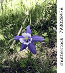 Small photo of Trailside Columbine Flower