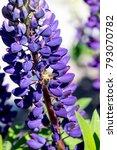 Bee Over Lupine