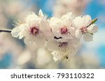 blossoming of the apricot tree... | Shutterstock . vector #793110322