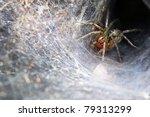 Funnel Web Weaver Grass Spider...