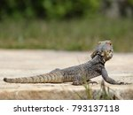 lizard on stone surface | Shutterstock . vector #793137118