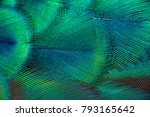 Peacock feathers in closeup