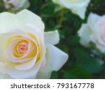 beautiful rose. soft focus | Shutterstock . vector #793167778