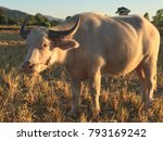Small photo of albinoid buffaloes in the morning