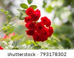 Stock photo lovely red climbing roses ornamental red roses filled picture bush of beautiful climbing small 793178302