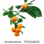 tangerines on branch isolated... | Shutterstock . vector #793233652