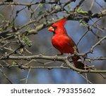 A Northern Cardinal  Cardinali...