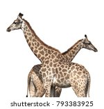 Two Giraffes. Isolated On Whit...
