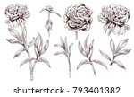 set of peony  brown  sepia ... | Shutterstock .eps vector #793401382