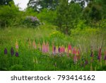 lupins growing wildly | Shutterstock . vector #793414162