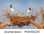 jabiru family in nest. parents... | Shutterstock . vector #793450225