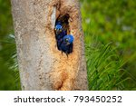 hyacinth macaw  two birds... | Shutterstock . vector #793450252