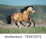 buckskin lusitano stallion runs ...   Shutterstock . vector #793472572