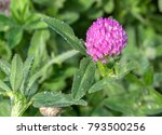 Small photo of Bright red clover with water drops. In folk medicine-against cancer, pneumonia, oedema, dermatitis, psoriasis, hypertension. In magic, attracts money & love & protects against evil spirits. Closeup