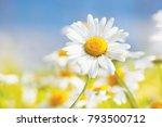 chamomile flowers field  in sun ... | Shutterstock . vector #793500712