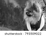 the wear  aggressive spitz dog... | Shutterstock . vector #793509022