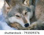 Gray Wolf At Rest