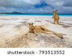 Two Kangaroos At Lucky Bay In...