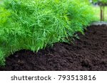 antioxidant kitchen herbs on...   Shutterstock . vector #793513816