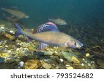 grayling  thymallus thymallus . ... | Shutterstock . vector #793524682