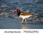 Small photo of An american oystercatcher