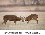 Two White Tailed Deer Fighting.