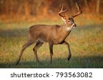 A White Tailed Deer Buck In Th...