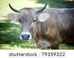 Big cow's head - stock photo