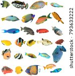 Reef Fish Indian Pacific Oceans - Fine Art prints