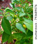 Small photo of Baby Capsicum Plant