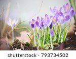 First Spring Crocuses Flowers ...
