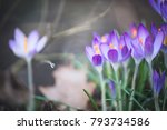 Pretty Crocuses Flowers ...