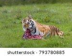 Endangered Amur Tiger Species...