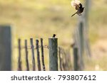 Cape bulbul birds enjoying some early morning sun sitting on a smallholding