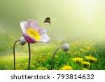beautiful pink anemone flower... | Shutterstock . vector #793814632