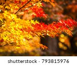 maple tree in autumn beautiful... | Shutterstock . vector #793815976