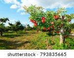 ripe apples hanging on branch   Shutterstock . vector #793835665