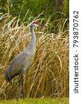 Small photo of Sandhill Crane (Grus canadensis) standing in grass field, Florida, USA