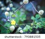 ower grass flower with sunset...   Shutterstock . vector #793881535