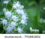 little white flowers along the...   Shutterstock . vector #793881802