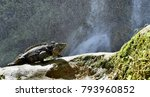 iguana in the forest beside a... | Shutterstock . vector #793960852