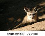 bat eared fox cub  otocyon... | Shutterstock . vector #793988