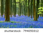 English Bluebells In A Beech...